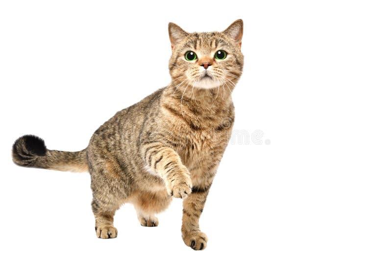 Ritratto di incantare condizione diritta scozzese del gatto curioso con la zampa alzata fotografie stock libere da diritti