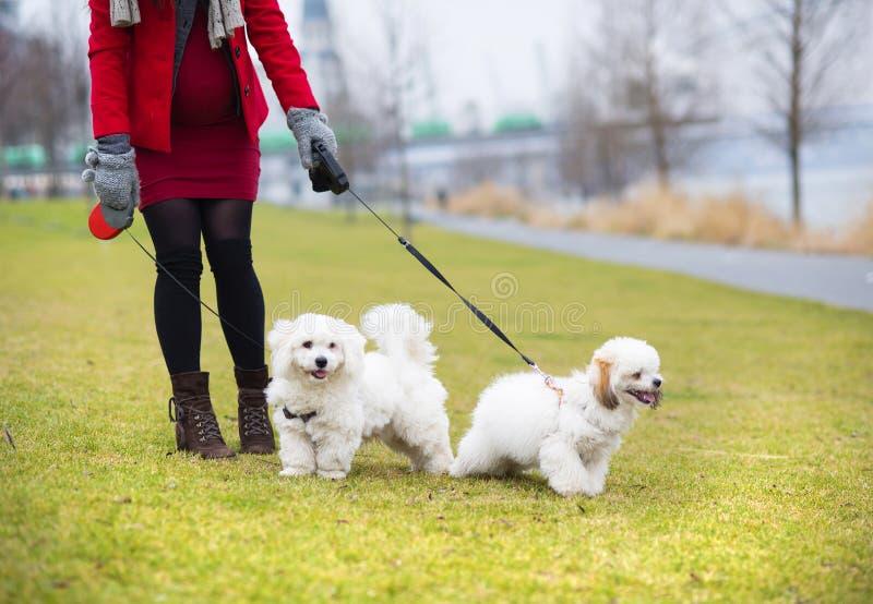 Ritratto di inverno dei cani di camminata della donna incinta fotografia stock libera da diritti
