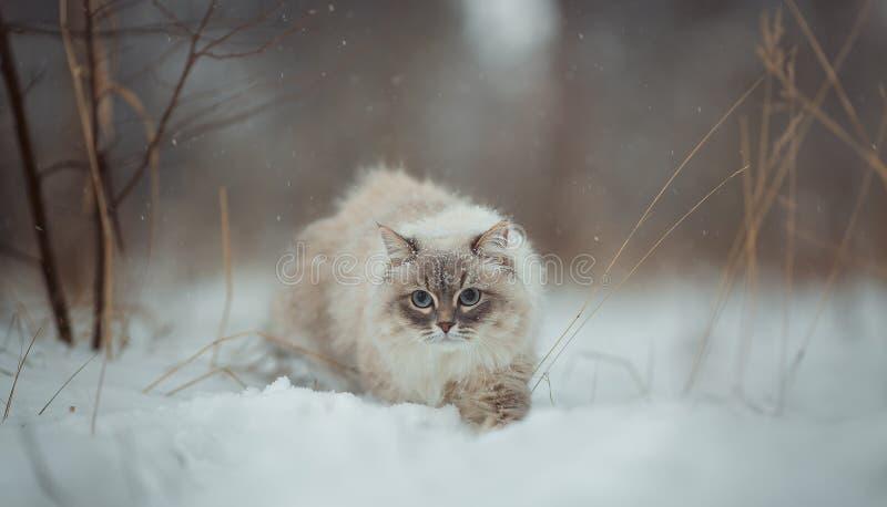 Ritratto di inverno del gatto di travestimento di Neva immagine stock