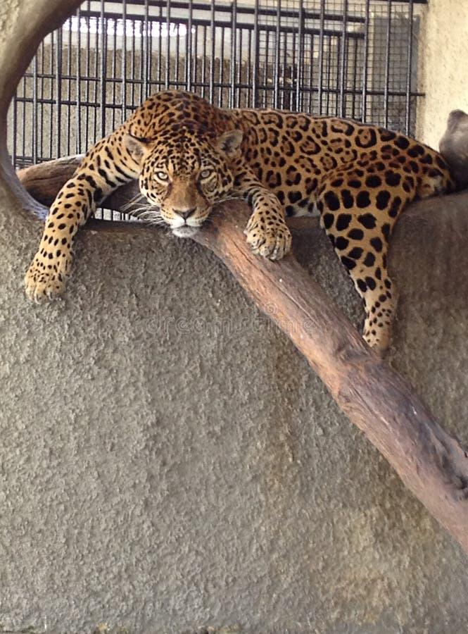 Ritratto di Jaguar immagini stock libere da diritti