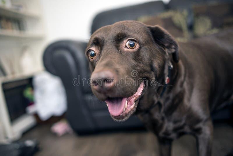 Ritratto di Labrador del cioccolato fotografia stock libera da diritti