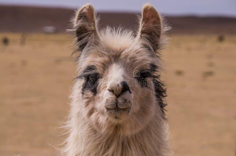 Ritratto di Lama Alpaca immagini stock