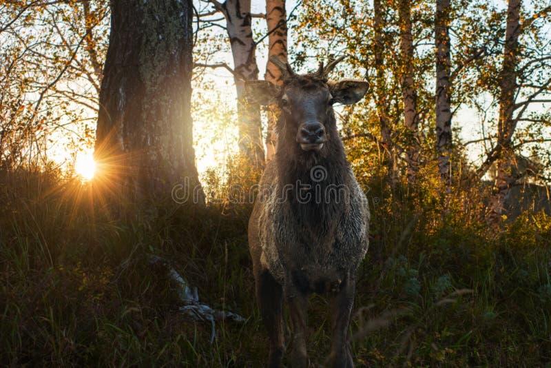 Ritratto di Maral sul tramonto di bellezza immagine stock