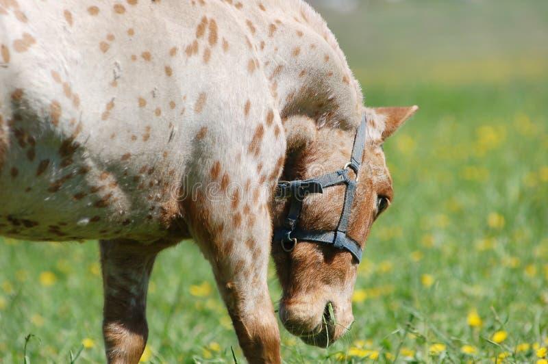 Ritratto di mini cavallino di Appaloosa nel pascolo fotografie stock libere da diritti
