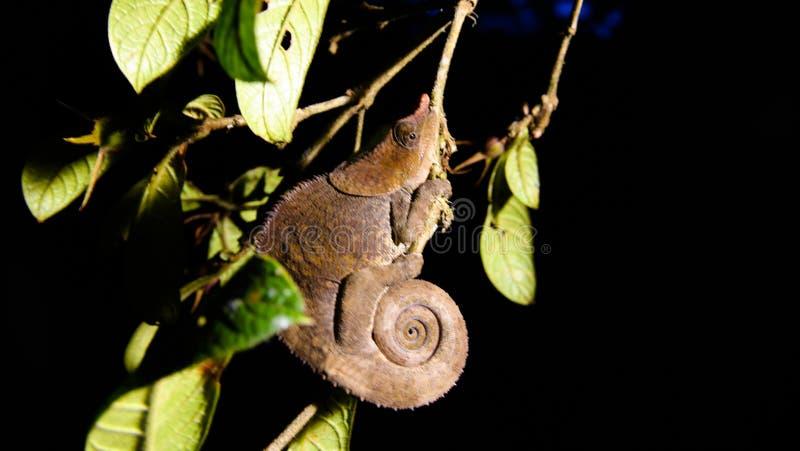 Ritratto di notte dei pardalis di Furcifer del camaleonte della pantera aka nel parco nazionale di Andasibe-Mantadia, Madagascar fotografia stock
