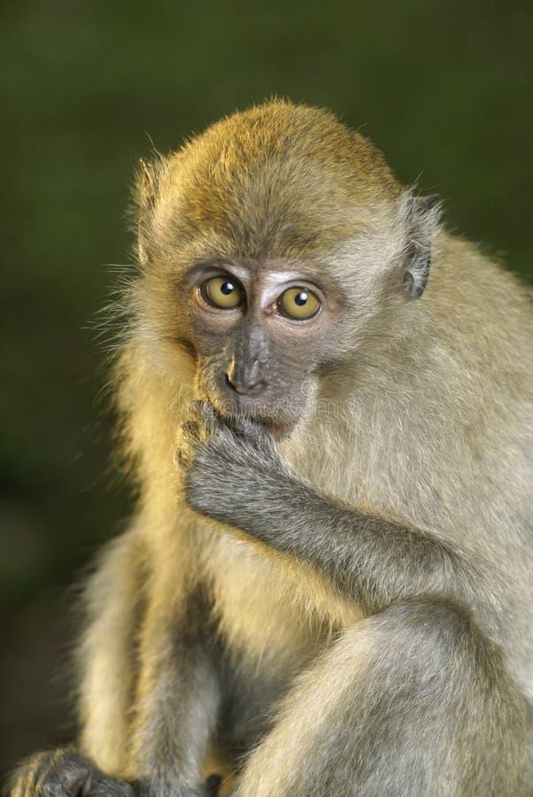 Ritratto di pensiero della scimmia fotografia stock libera da diritti
