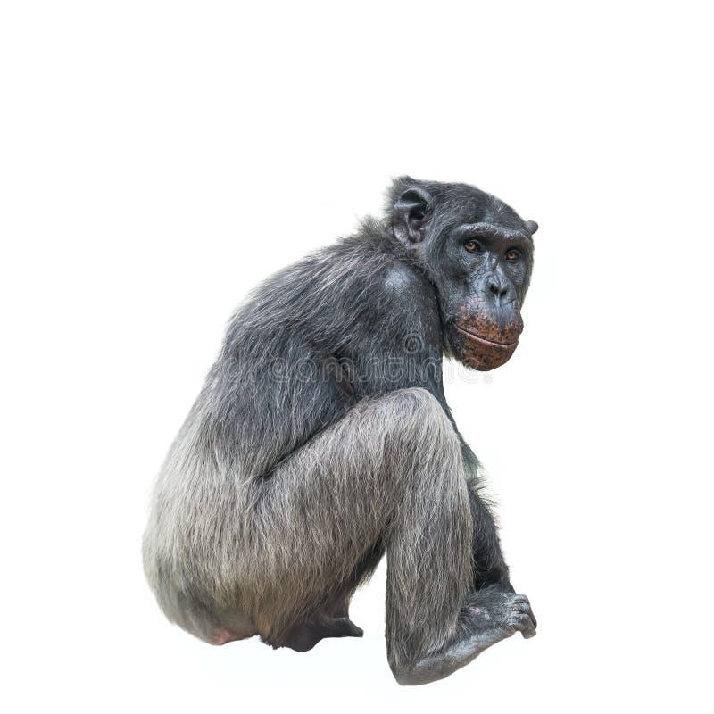 Ritratto di pensiero dello scimpanzè isolato su fondo bianco fotografia stock