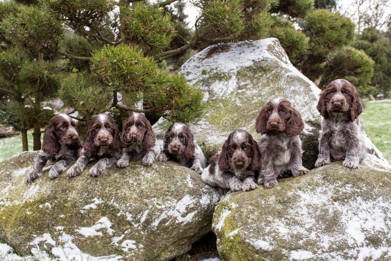 Ritratto di piccoli cuccioli dell'inglese cocker spaniel fotografie stock libere da diritti