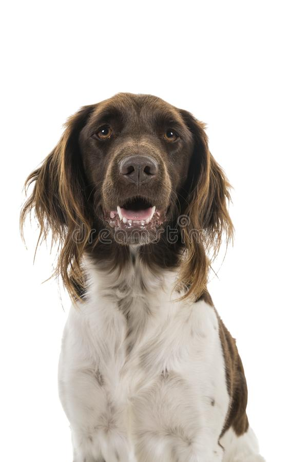 Ritratto di piccolo cane femminile del munsterlander, heidewachtel, su un fondo bianco fotografia stock libera da diritti