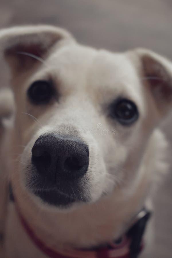 Ritratto di piccolo cucciolo bianco fotografie stock libere da diritti