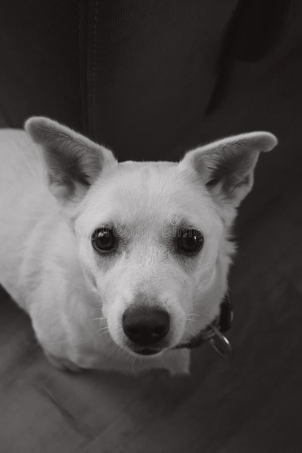 Ritratto di piccolo cucciolo bianco immagini stock