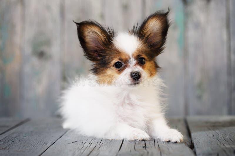 Ritratto di piccolo cucciolo sveglio Papillon fotografia stock libera da diritti