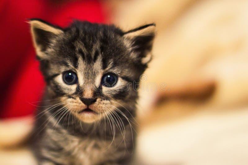 Ritratto di piccolo gattino sveglio fotografia stock