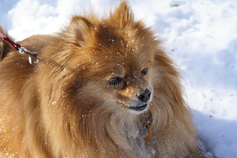 Ritratto di Pomeranian fotografia stock libera da diritti