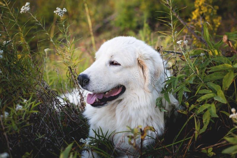 Ritratto di profilo del cane pastore adorabile di maremma Grande cane lanuginoso bianco che posa nella foresta fotografia stock
