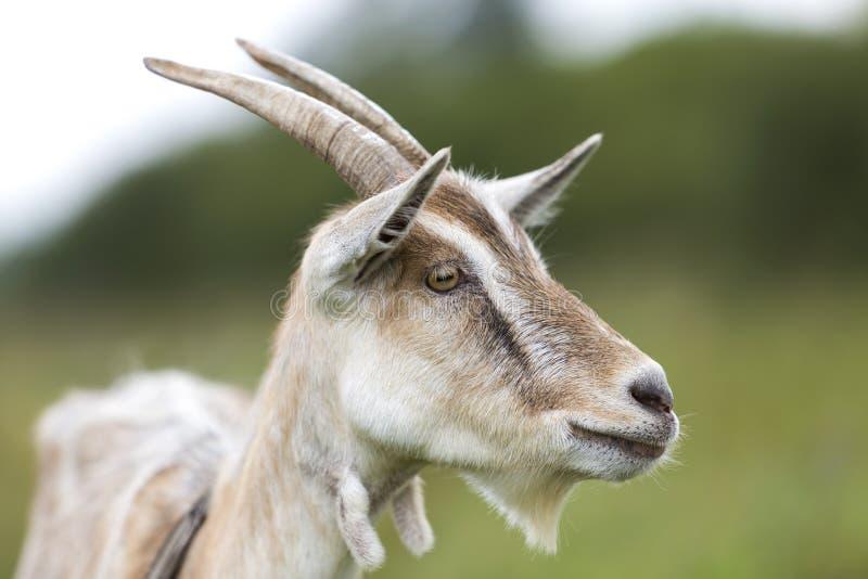 Ritratto di profilo del primo piano delle capre barbute pelose bianche piacevoli con fotografie stock libere da diritti