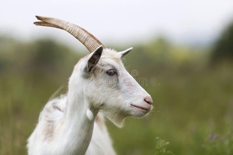 Ritratto di profilo del primo piano delle capre barbute pelose bianche piacevoli con fotografia stock libera da diritti