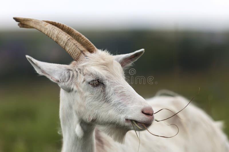 Ritratto di profilo del primo piano delle capre barbute pelose bianche piacevoli con fotografia stock