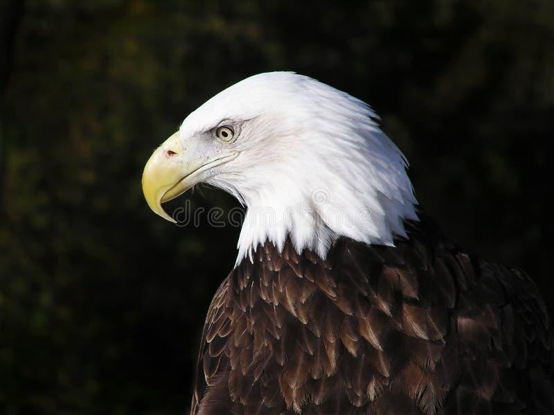 Ritratto di profilo di Eagle calvo americano fotografie stock