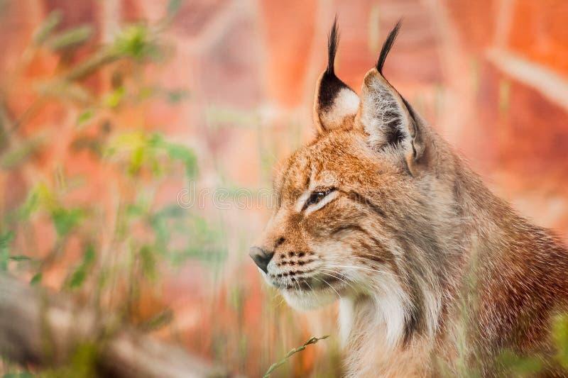 Ritratto di profilo di Lynx su fondo rosso fotografie stock libere da diritti