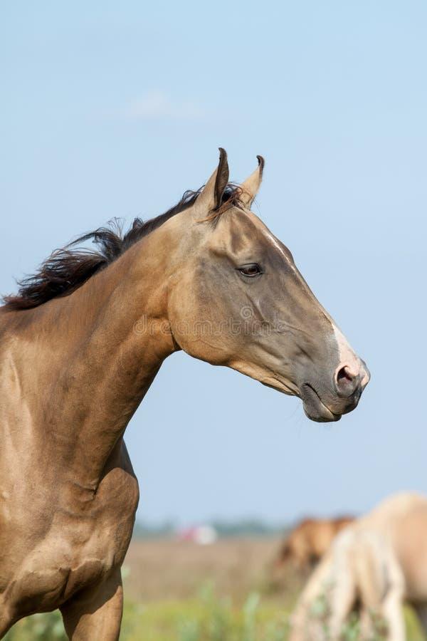 Ritratto di razza del cavallo del akhal-teke fotografia stock