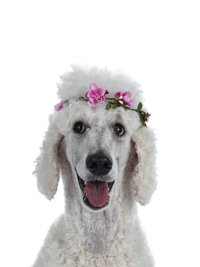 Ritratto di re bianco Poodle su bianco fotografie stock