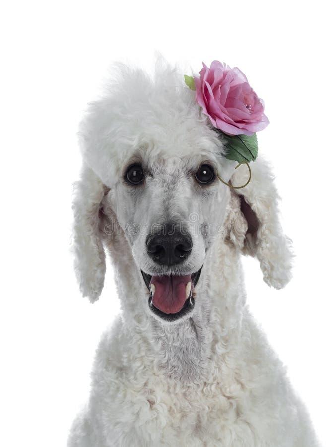 Ritratto di re bianco Poodle su bianco fotografia stock libera da diritti
