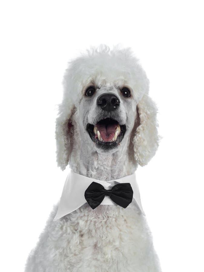 Ritratto di re bianco Poodle su bianco immagine stock