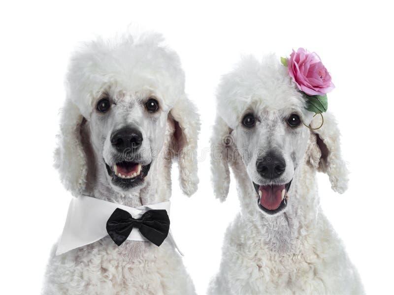 Ritratto di re bianco Poodle su bianco fotografia stock
