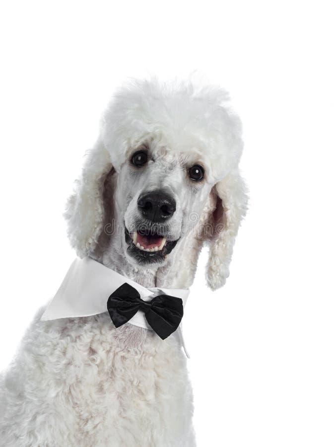 Ritratto di re bianco Poodle su bianco fotografie stock libere da diritti