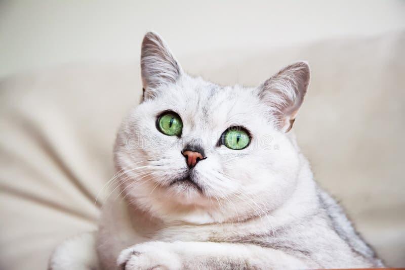 Ritratto di riposo attento sul gatto bianco-grigio del sofà con i bei grandi occhi verdi immagini stock