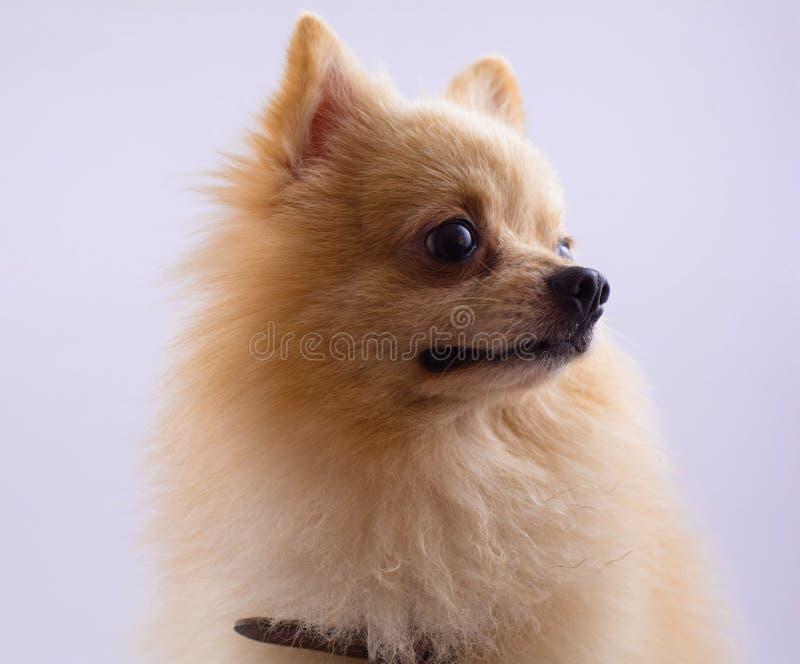 Ritratto di seduta del cane pomeranian dello spitz isolato sul backg bianco fotografia stock