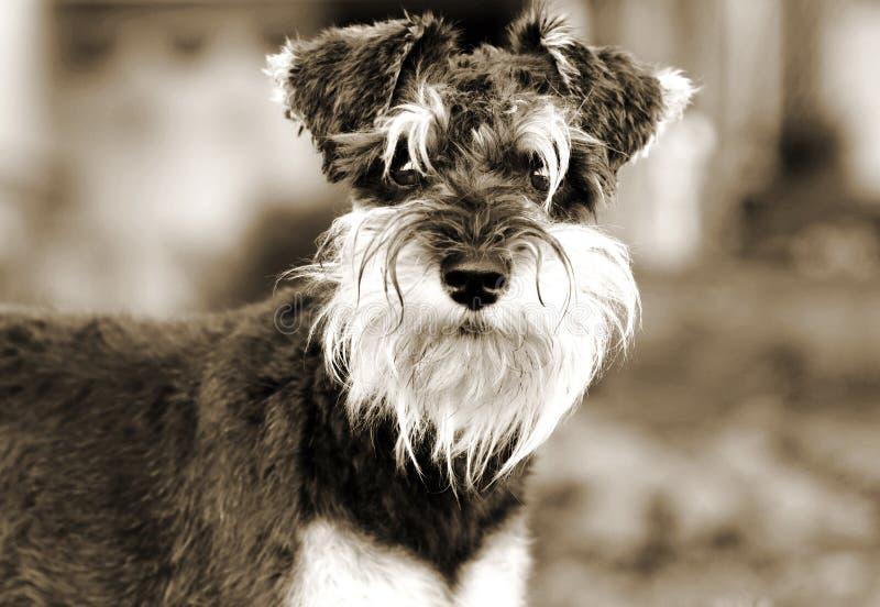 Ritratto di seppia del cucciolo di cane dello schnauzer miniatura fotografia stock libera da diritti