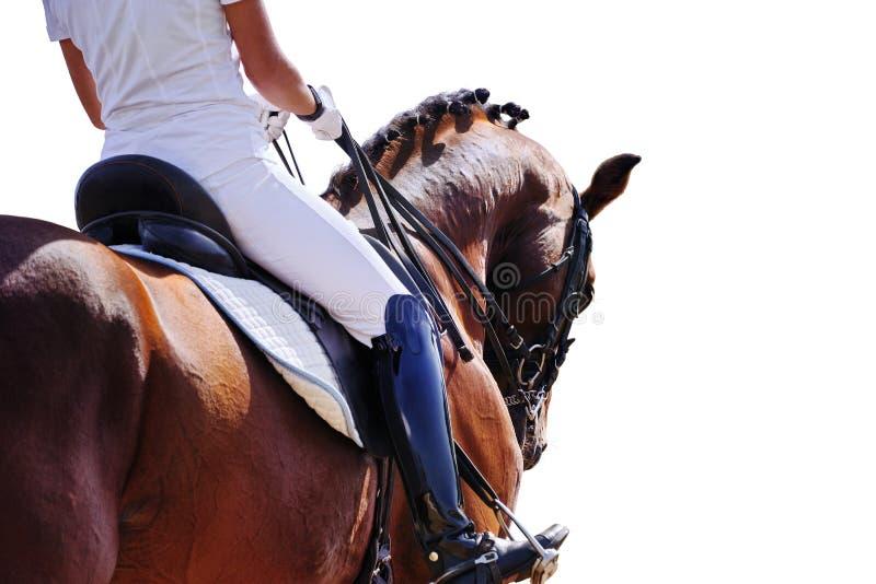 Ritratto di stallone e cavaliere di dragaggio su fondo bianco fotografia stock