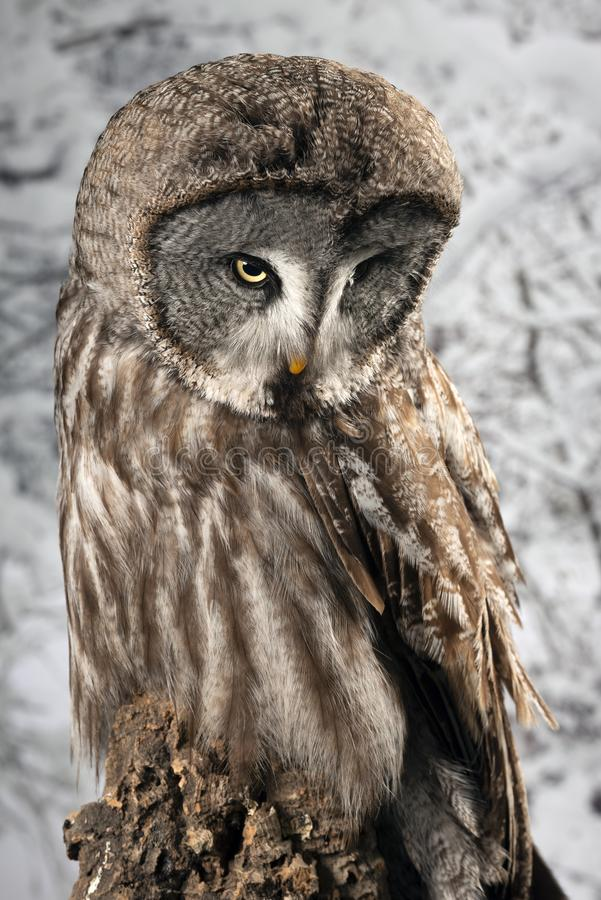 Ritratto di stordimento di grande Grey Owl Strix Nebulosa nella regolazione dello studio con il fondo nevoso di inverno immagine stock