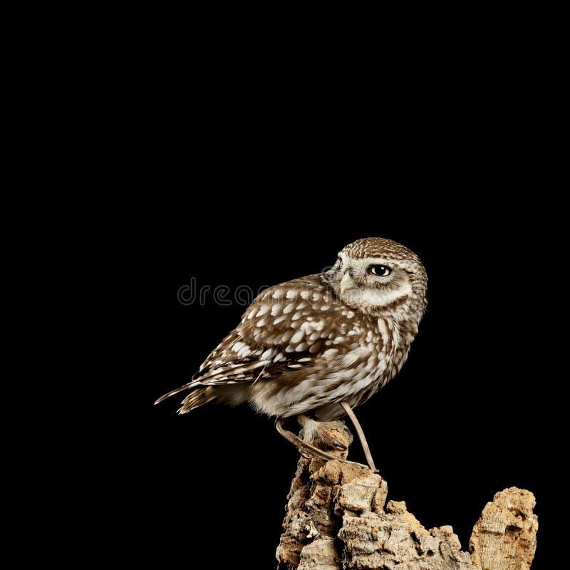 Ritratto di stordimento di poca Owl Athena Noctua nella regolazione dello studio con il fondo nero e l'illuminazione drammatica immagine stock