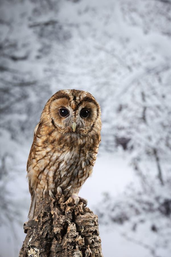 Ritratto di stordimento di Tawny Owl Strix Aluco sul fondo della foresta della neve di inverno immagini stock