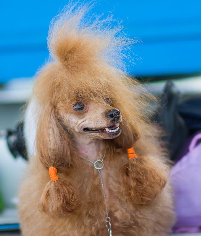 Ritratto di Toy Poodle fotografie stock libere da diritti