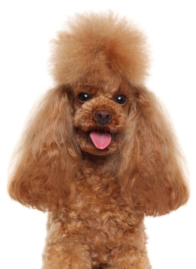 Ritratto di Toy Poodle rosso fotografia stock libera da diritti