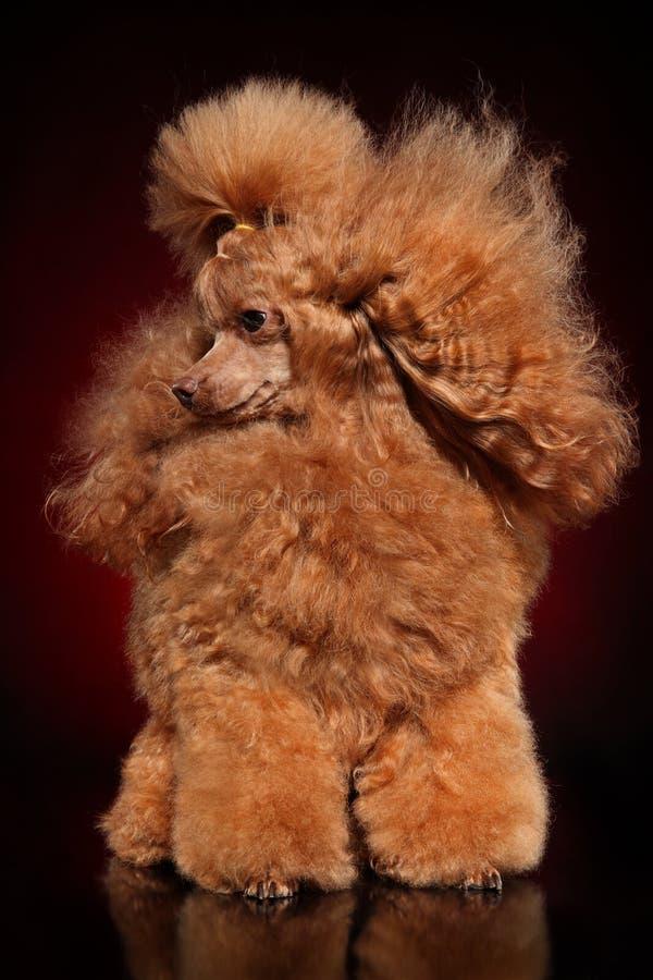 Ritratto di Toy Poodle rosso immagine stock