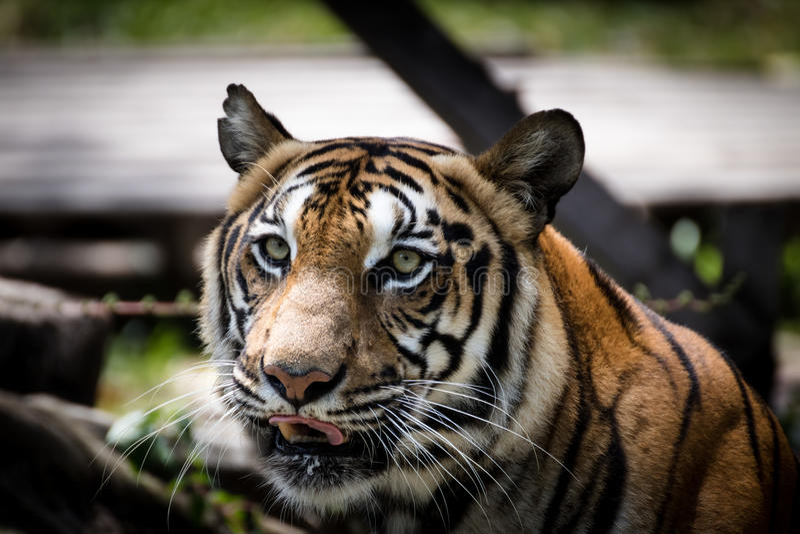 Ritratto di un allarme e di fissare della tigre alla macchina fotografica fotografia stock