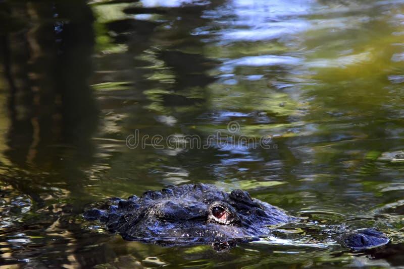 Ritratto di un alligatore immagini stock libere da diritti