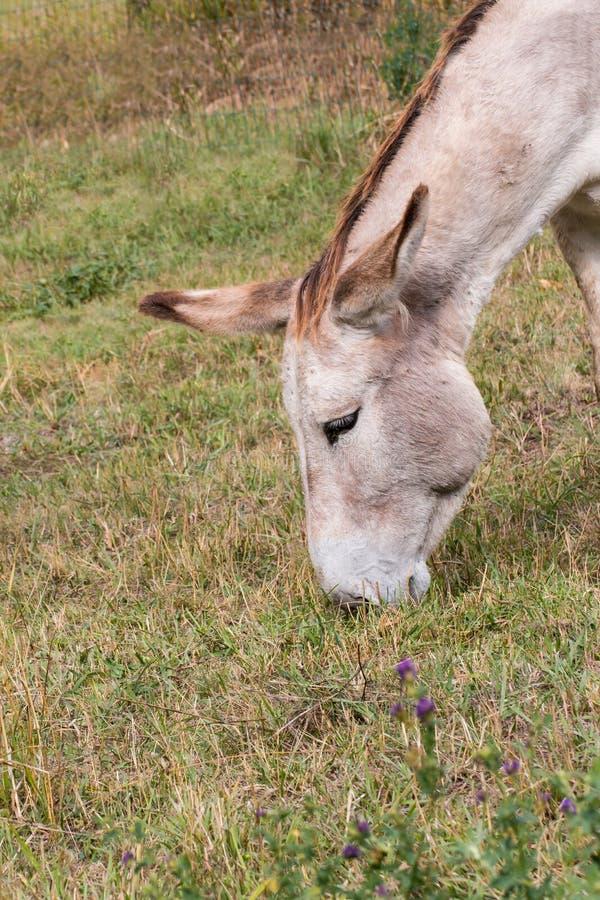 Ritratto di un asino che mangia erba immagini stock