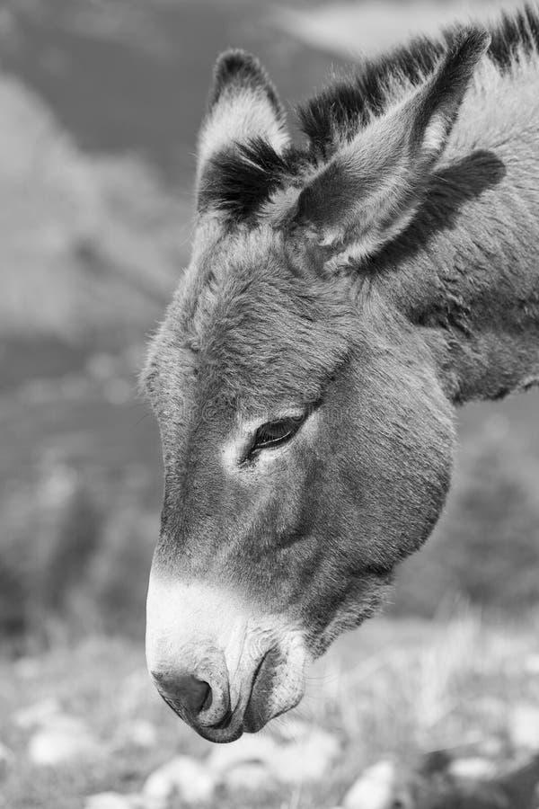 Ritratto di un asino nel monocromio immagine stock