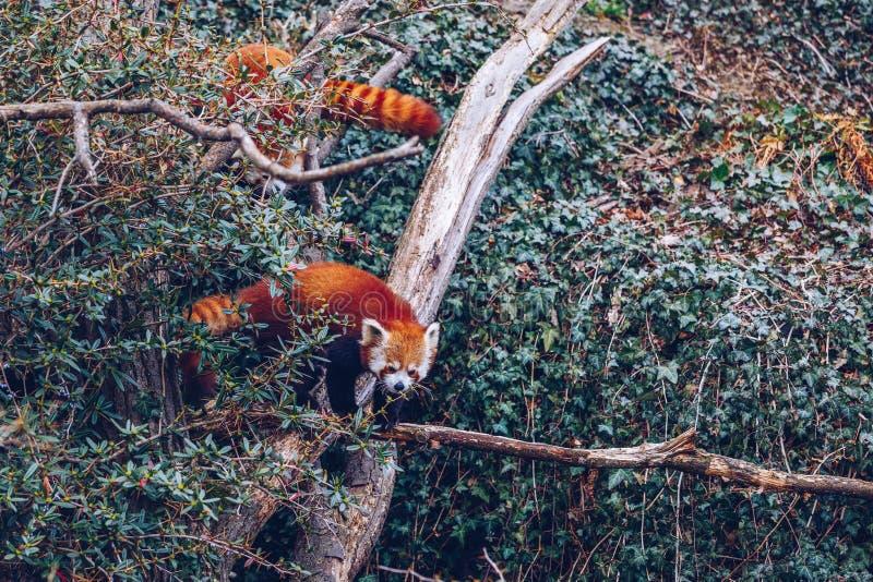 Ritratto di un bel panda rosso Panda rossa nello zoo di Praga, Czechia Red Panda o Ailurus fulgenes in cattività, Praga Zoo, ceco fotografia stock