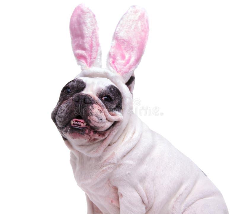 Ritratto di un bulldog francese felice che indossa le orecchie del coniglietto di pasqua fotografia stock