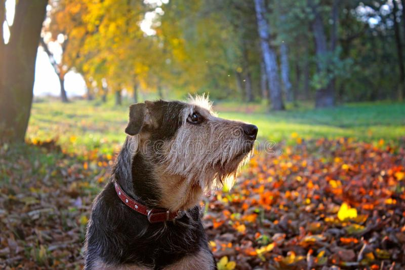 Ritratto di un cane che si siede in foglie variopinte di caduta in autunno fotografia stock libera da diritti