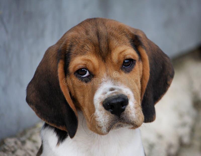 Ritratto di un cane da lepre fotografia stock libera da diritti