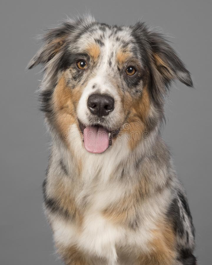 Ritratto di un cane da pastore australiano del merle abbastanza blu su un gre fotografia stock