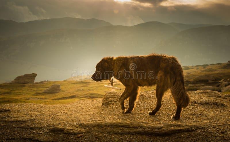 Ritratto di un cane da pastore in un paesaggio carpatico immagine stock libera da diritti